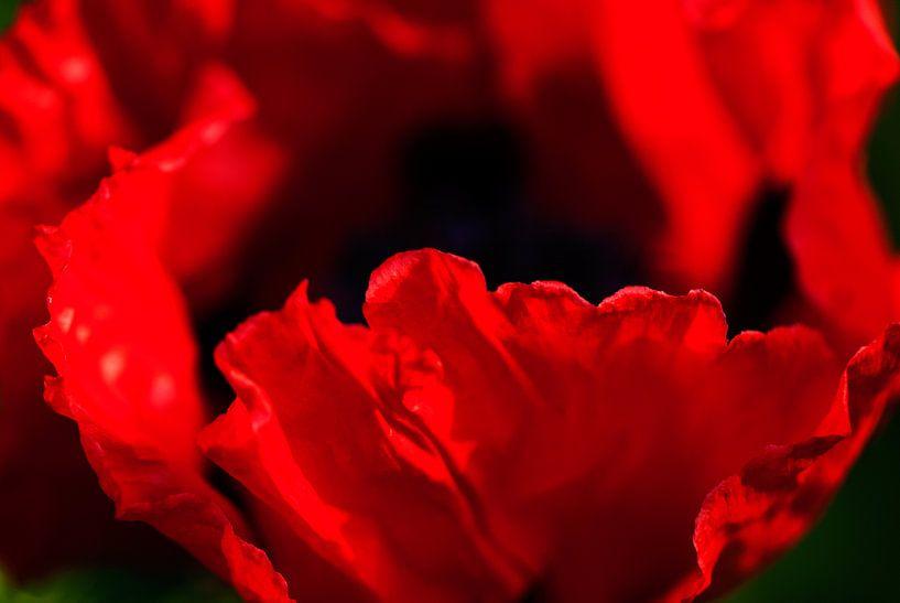Rode papavers in eigen tuin van Margo Schoote