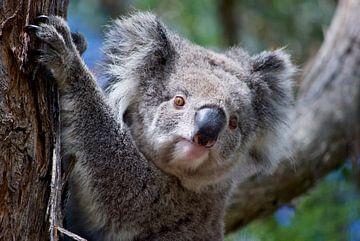 Der König des Eukalyptuswaldes von Australien von Be More Outdoor