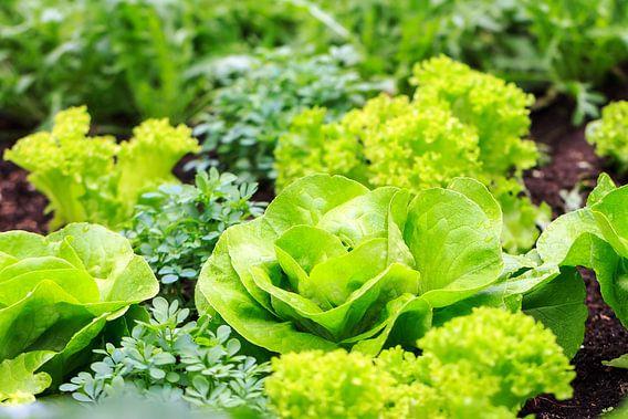 Groene sla in de tuin