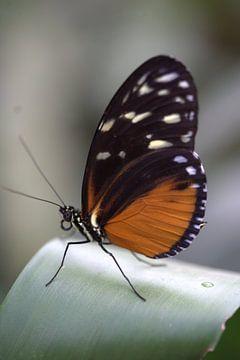 Vlinder op blad van Eric Verhoeven