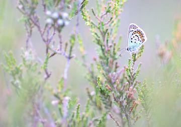 Heideblauwtje op struik van Milou Hinssen
