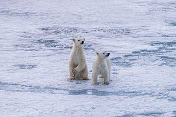 IJsbeer welpen Spitsbergen van Merijn Loch