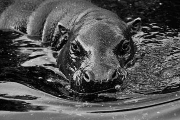 Museau dans l'eau. hippopotame sur Michael Semenov