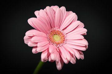 Een licht roze germini/ gerbera bloem