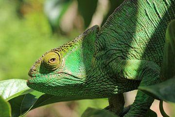 Kameleon in Madagaskar van Marieke Funke