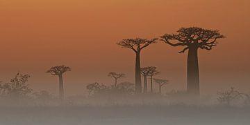 Avenue de Baobabs van Dirk-Jan Steehouwer