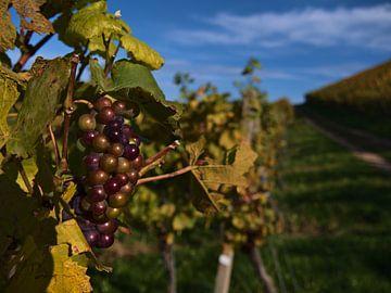 Rijpe paarse druiven aan een wijnstok in de herfst van Timon Schneider