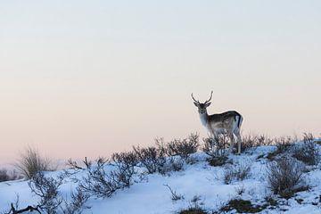 Hirsche | Damhirsche in winterlicher Atmosphäre kurz nach Sonnenuntergang von Servan Ott