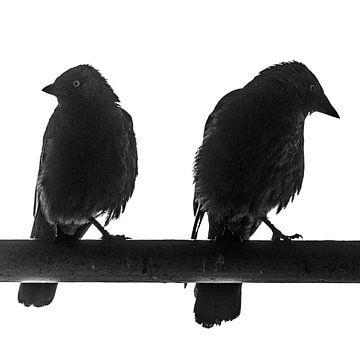 Zwart Wit foto van twee Kauw vogels van Jeffrey Steenbergen