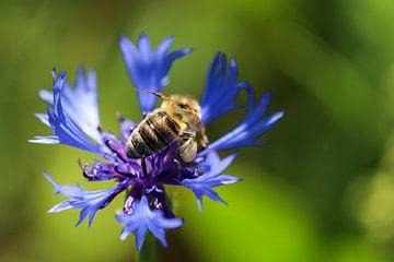 Biene sitzt auf einer blauen Kornblume von Reiner Conrad