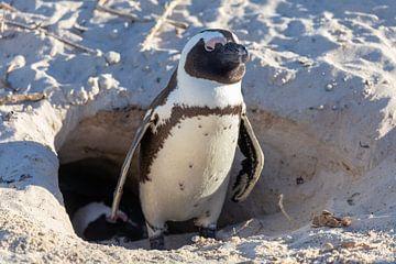 Pingouin devant sa grotte sur Dennis Eckert