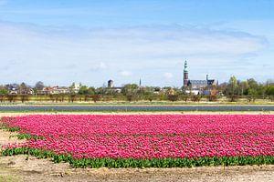 Roze tulpen in Lisse