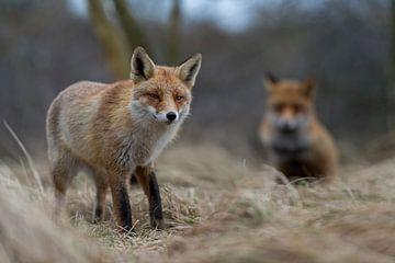 Fuchs im Bruchwald... Rotfüchse *Vulpes vulpes* von wunderbare Erde