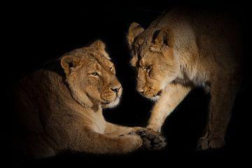 Twee leeuwenvriendinnen zijn schattige babbelende close-ups op een zwarte achtergrond. van Michael Semenov