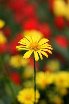 Gelbe Gänseblümchen von Alyssa van Niekerk