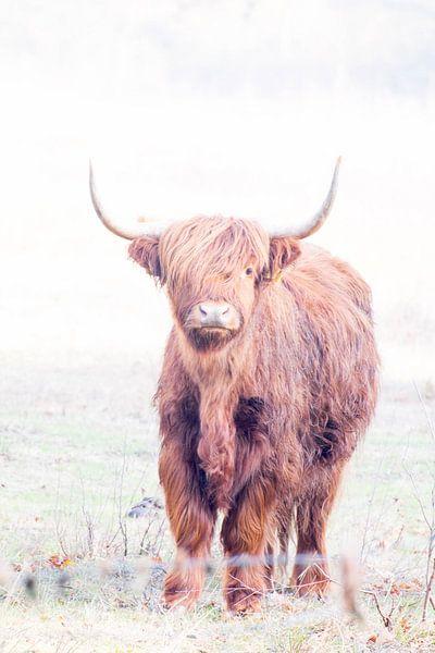 Schotse hooglander van Lavieren Photography