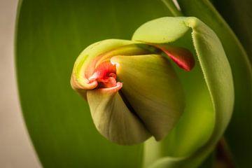 Tulip unfolding its leaves von kitty van gemert