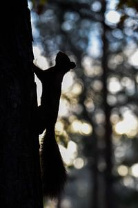 Eekhoorn silhouet van Danny Slijfer Natuurfotografie