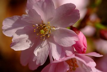 Kersenbloesem. Hanami. Cherry blossom. 001. von George Ino