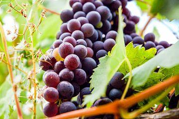 Tros met Toscaanse druiven van Barbara Koppe