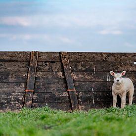 Neugierige Lämmer auf Texel von Texel360Fotografie Richard Heerschap