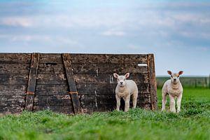 Curieux agneaux sur Texel sur