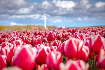 Blühende Tulpen im Frühling von Fotografiecor .nl