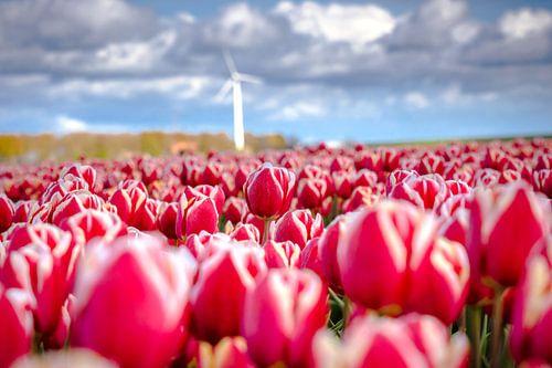 Bloeiende tulpen in het voorjaar