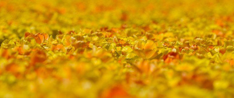 Geel gekleurde tulpen van Menno Schaefer