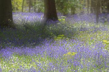 Hallerbos, wilde hyacinten, bloemen, bos, bomen, paars, voorjaar romantisch, zachte gloed, zon  van Trudy Roovers