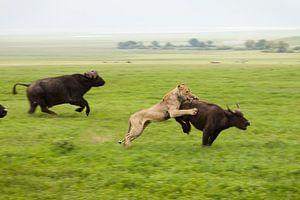Hoe een leeuw een buffel vangt van
