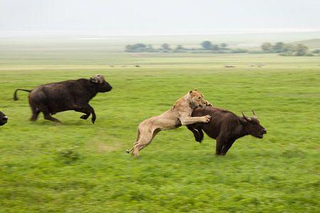 Hoe een leeuw een buffel vangt van Stephan Spelde