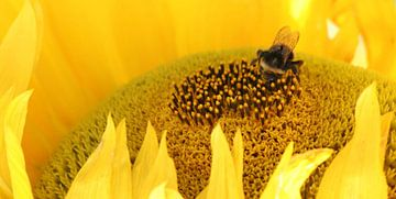 bij op gele zonnebloem