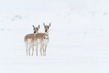 Pronghorns / Gabelböcke / Gabelantilopen ( Antilocapra americana ) zwei Weibchen, Yellowstone NP, US von wunderbare Erde