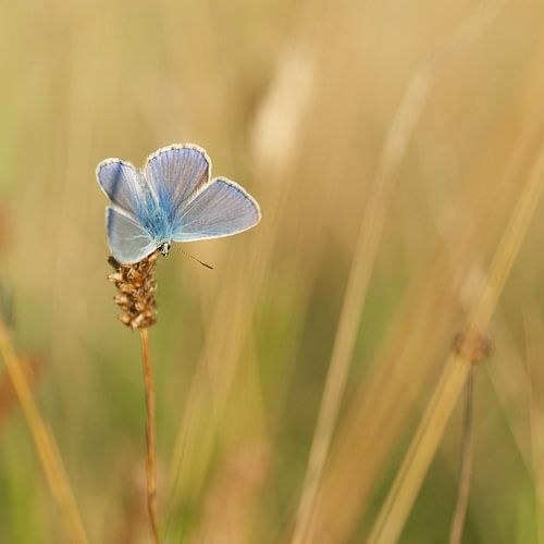 Icarusblauwtje op een grote pimpernel. Vlinder van Martin Bredewold