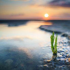 Groene verse zeekraal op het wad bij zonsondergang van Fotografiecor .nl