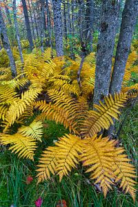 Kaneelvaren (Osmunda cinnamomea) in herfstkleuren groeiend in het bos van Baxter State Park, Verenig van