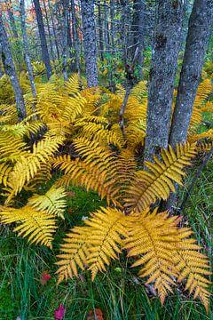 Kaneelvaren (Osmunda cinnamomea) in herfstkleuren groeiend in het bos van Baxter State Park, Verenig von Nature in Stock