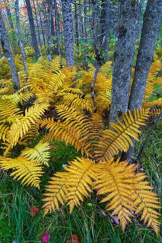 Kaneelvaren (Osmunda cinnamomea) in herfstkleuren groeiend in het bos van Baxter State Park, Verenig