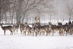 Herten in de sneeuw van gea strucks