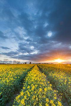 Koolzaadveld in gouden licht van Ron Buist