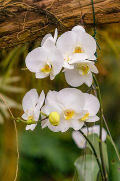 orchidee 7 van John van Weenen