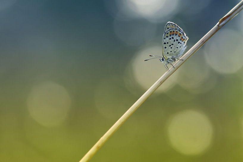 Bruine vuurvlinder van Jan Paul Kraaij