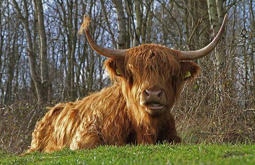 Schotse Hooglander op Texel. Highland Cattle at Texel.