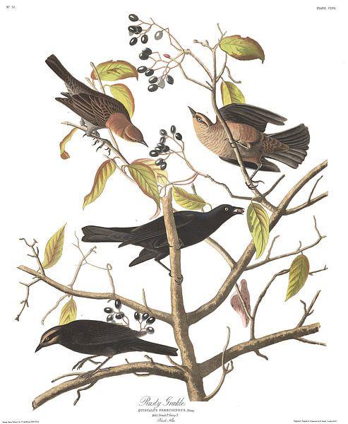 Zwarte Troepiaal van Birds of America