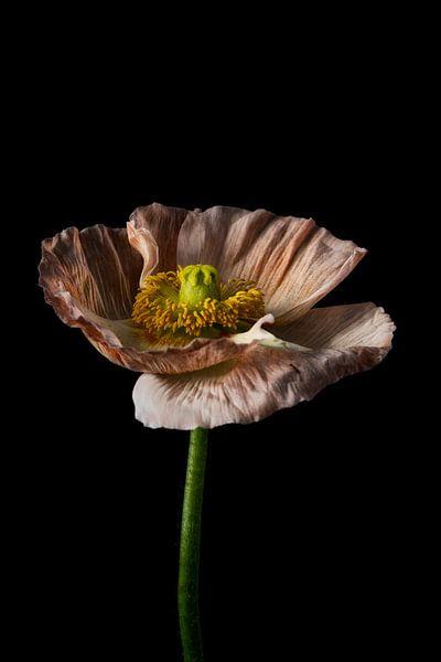 Stilleven minimalisme bloem met zwarte achtergrond van Steven Dijkshoorn