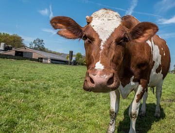 Holstein roodbont koe  van Elbertsen Fotografie