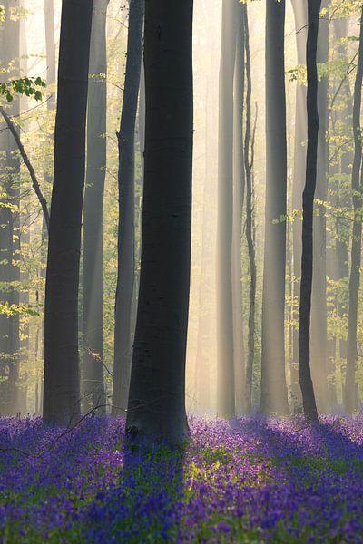 Frühling auf dem Hallerbos von Paul Begijn