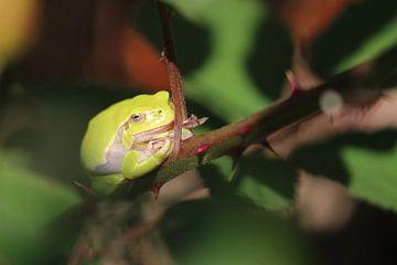 Grüner Baumfrosch in vollem Licht von Eline Lohman