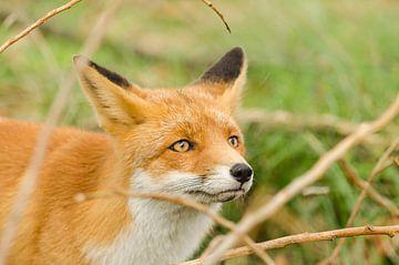 Rode vos van Ans Bastiaanssen